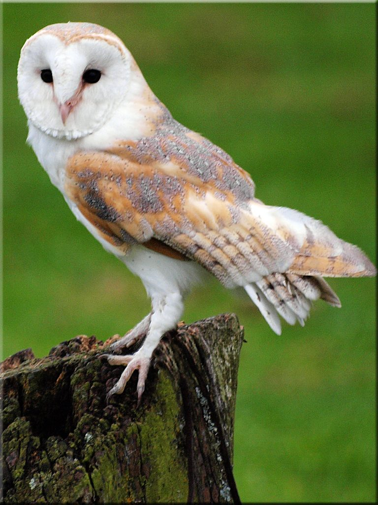 Barn Owl pauses on a tree stump. Photo: Ian Jones